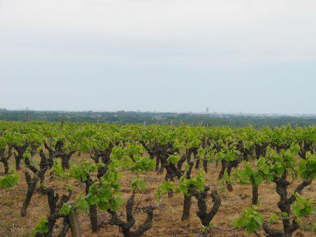 Culture de la vigne sur le coteau viticole du marais de Goulaine